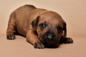 Rhodesian ridgeback male puppy for sale--6