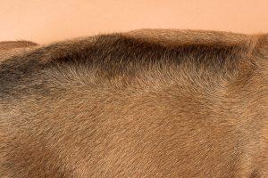 Rhodesian ridgeback male puppy for sale--7