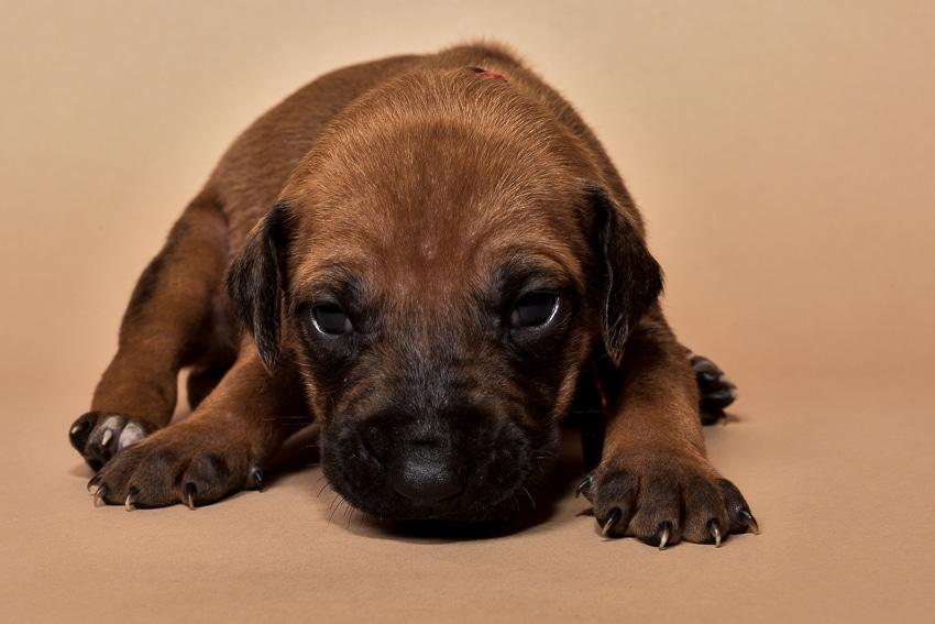 Rhodesian ridgeback puppy for sale females--2