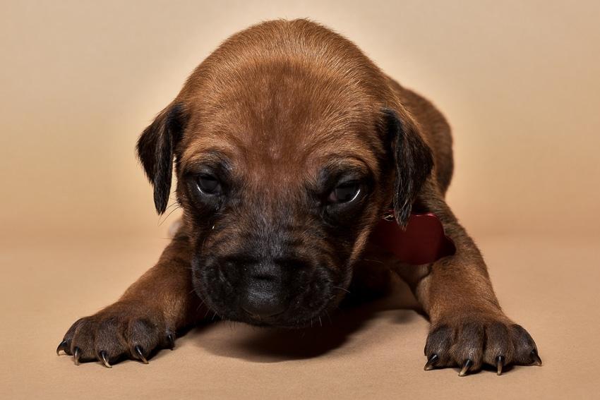 Rhodesian ridgeback puppy for sale females--3