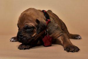 Rhodesian ridgeback puppy for sale females--5