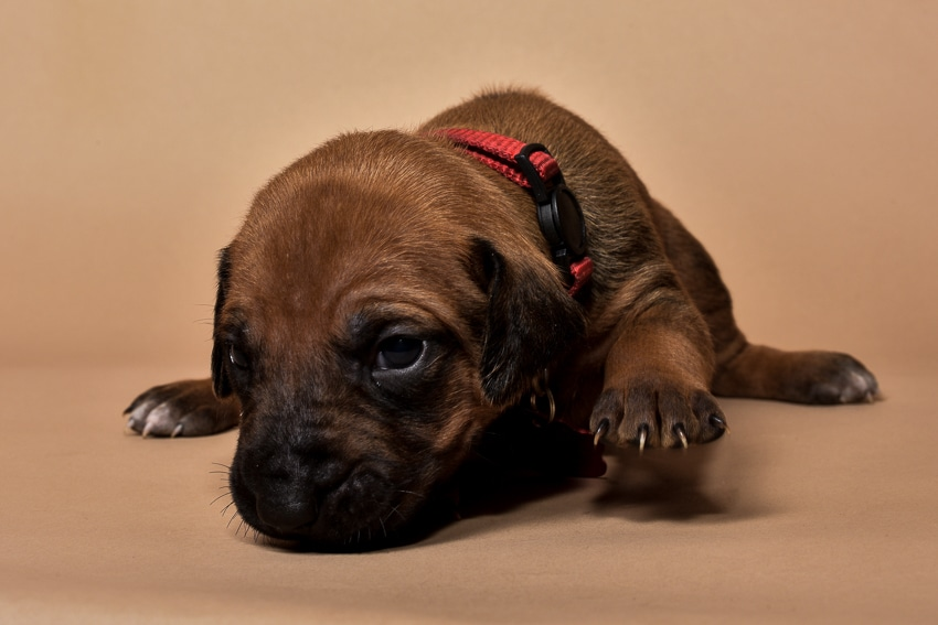 Rhodesian ridgeback puppy for sale females--6