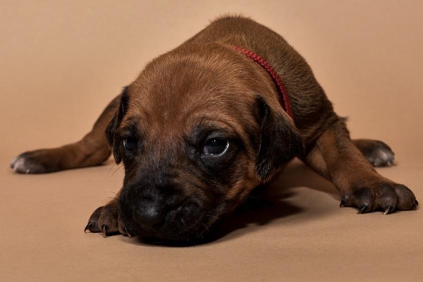 Rhodesian ridgeback puppy for sale females--7