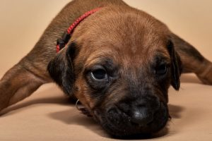 Rhodesian ridgeback puppy for sale females--8