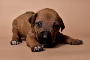 Rhodesian ridgeback puppy for sale male--11