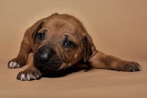 Rhodesian ridgeback puppy for sale male--13