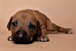 Rhodesian ridgeback puppy for sale male--15