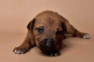 Rhodesian ridgeback puppy for sale male--16