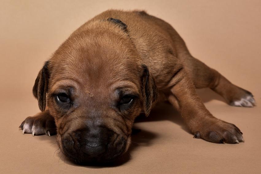 Rhodesian ridgeback puppy for sale male--17