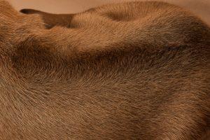 Rhodesian ridgeback puppy for sale male--18