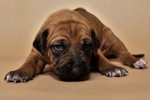 Rhodesian ridgeback puppy for sale male--4