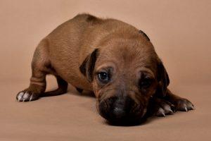 Rhodesian ridgeback puppy for sale male--5