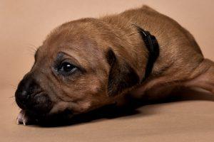 Rhodesian ridgeback puppy for sale male--8