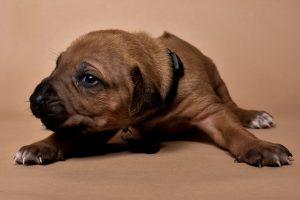 Rhodesian ridgeback puppy for sale male--9
