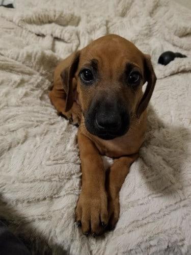 Top Rhodesian Ridgeback Male Puppies for Sale