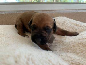 ridgeback puppies for sale austin texas 2021 litter beige