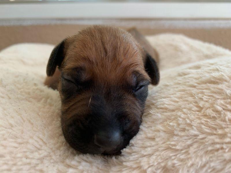 ridgeback puppies for sale austin texas 2021 litter grey
