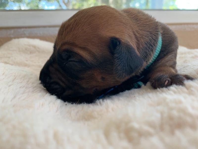 ridgeback puppies for sale austin texas 2021 litter light blue 1