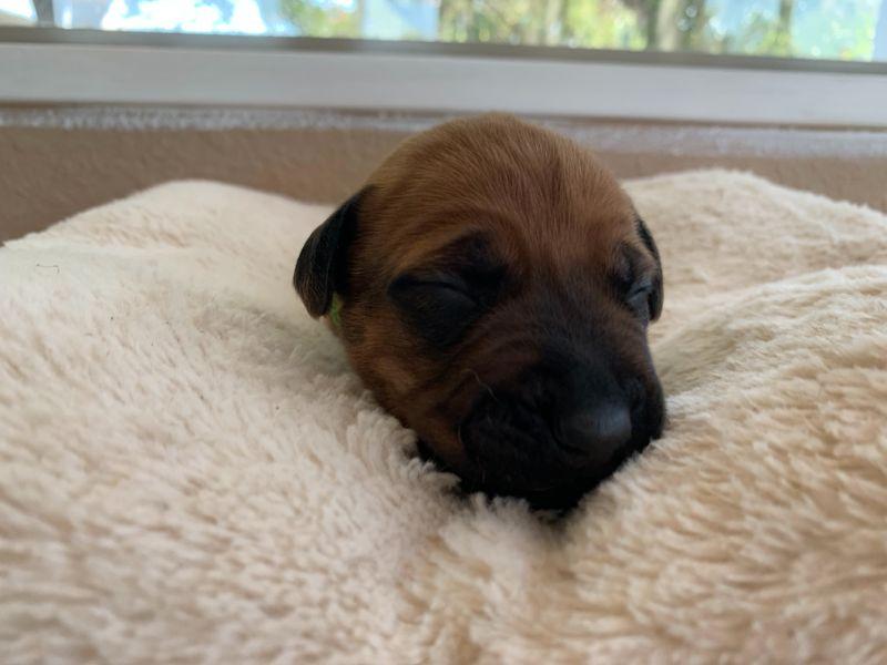 ridgeback puppies for sale austin texas 2021 litter light green