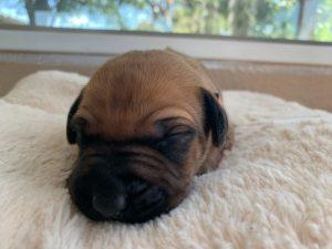 ridgeback puppies for sale austin texas 2021 litter orange