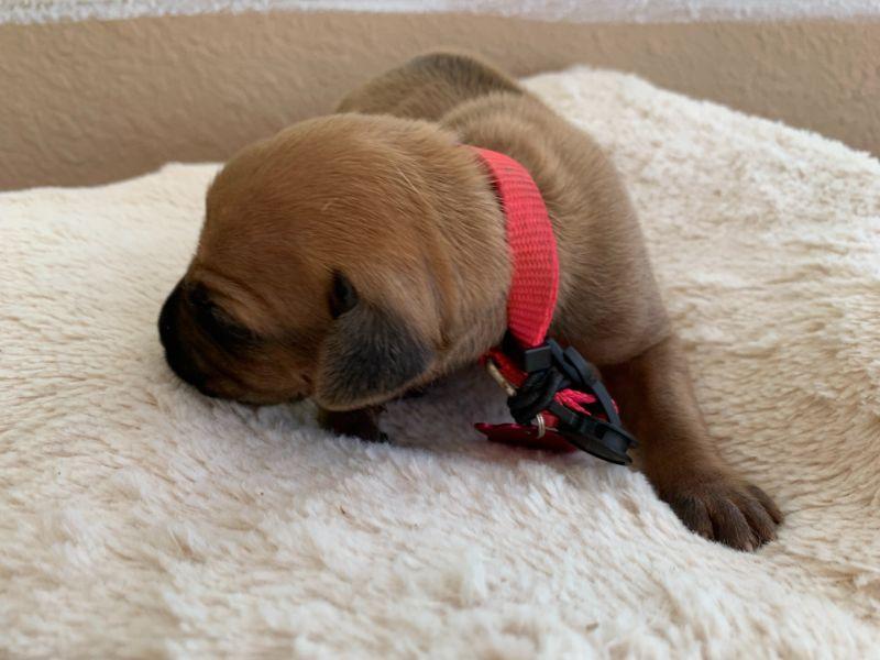 ridgeback puppies for sale austin texas 2021 litter pink