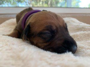 ridgeback puppies for sale austin texas 2021 litter purple