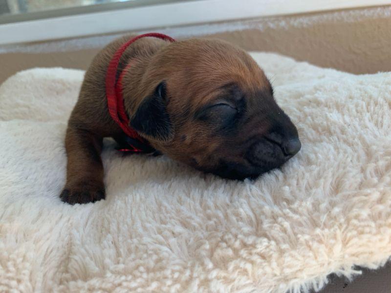 ridgeback puppies for sale austin texas 2021 litter red