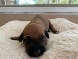 ridgeback puppies for sale austin texas 2021 litter yellow