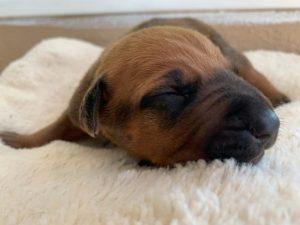 ridgeback puppy for sale austin texas 2021 litter blue