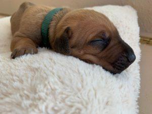 ridgeback puppy for sale austin texas 2021 litter dark green