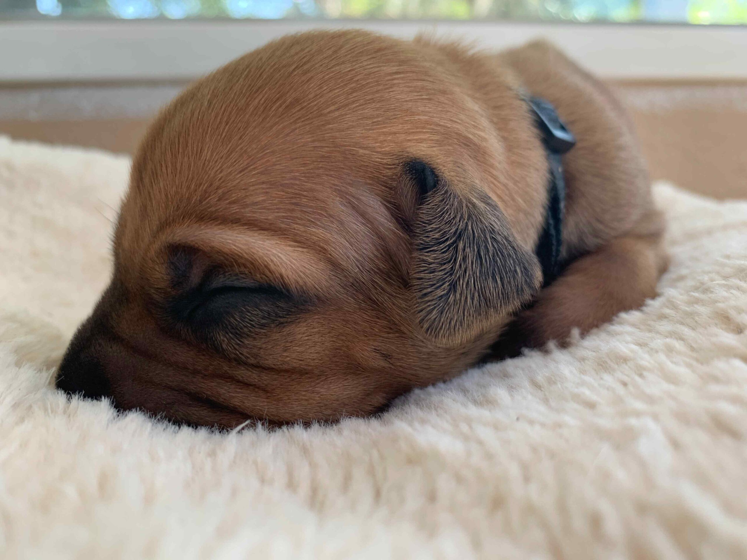 ridgeback puppy for sale austin texas black