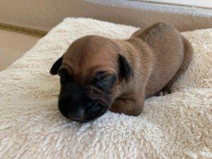 ridgeback puppy for sale austin texas blank