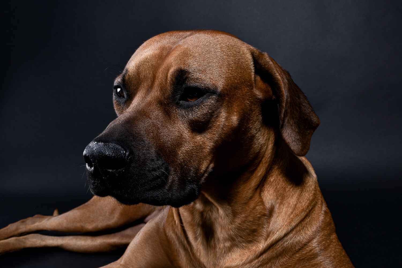 rhodesian ridgebacks puppies for sale 10