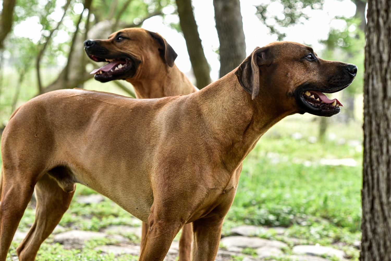 rhodesian ridgebacks puppies for sale 2