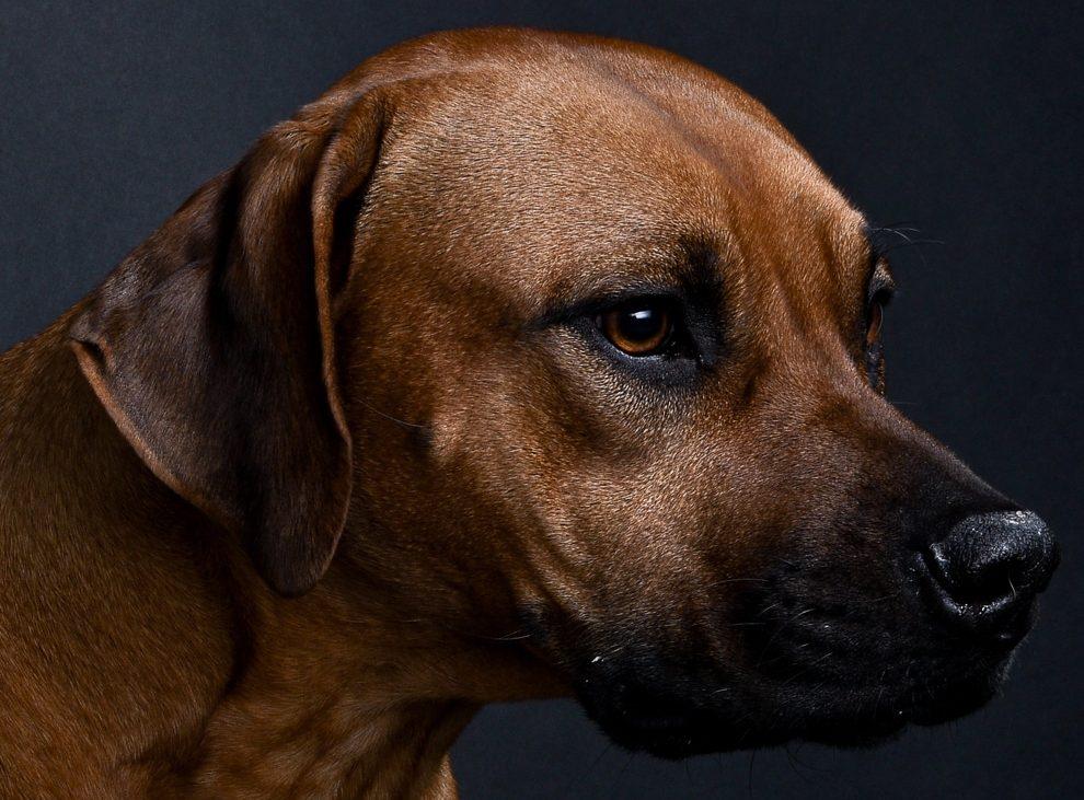 rhodesian ridgebacks puppies for sale 6