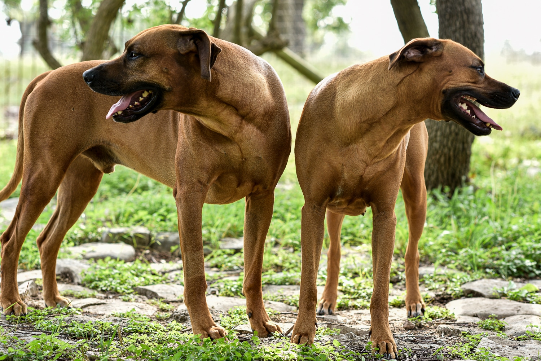 rhodesian ridgebacks puppies for sale